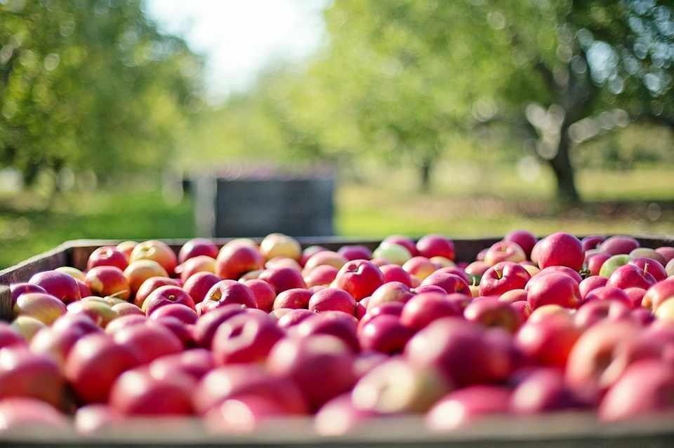 Яблоки в очень большом ящике