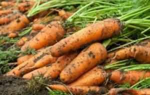 Морковь на грядке