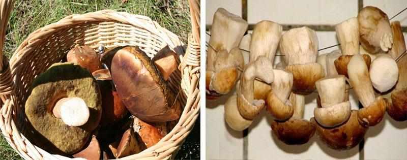 Сбор и сушка белых грибов