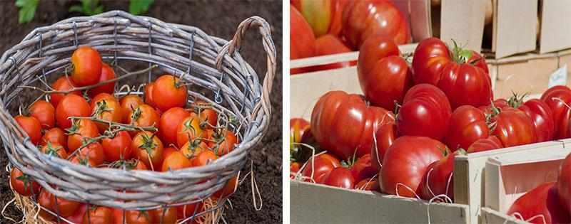 Хранение помидоров на зиму