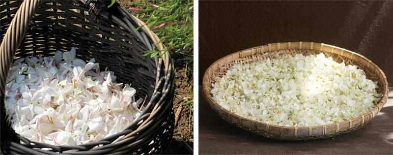 Сбор и сушка жасмина