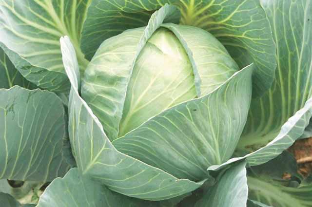 Лучшие сорта капусты для сохранения в свежем виде зимой
