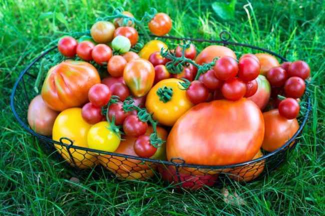 Как надолго сохранить томаты свежими: лучшие сорта и условия