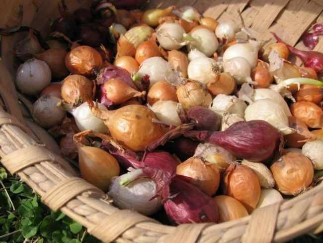 Как правильно хранить лук севок в зиму?