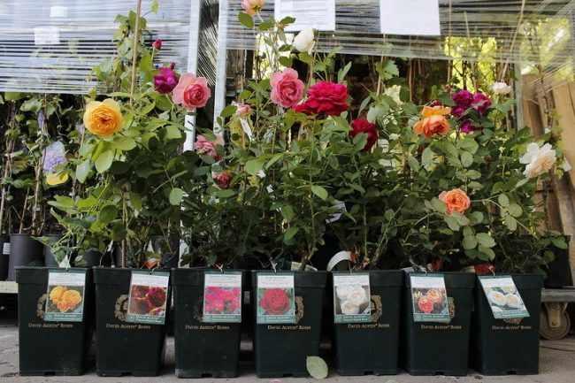 Как сохранить саженцы роз, купленные в феврале