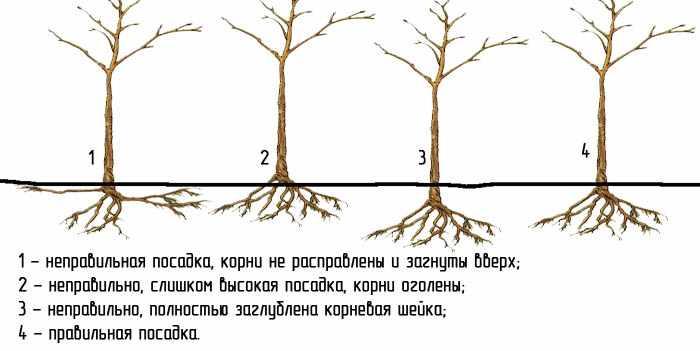 Как правильно посадить фруктовое дерево осенью?