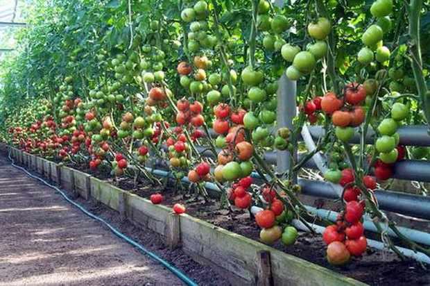 Как правильно выращивать томаты?
