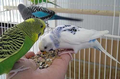 Как правильно ухаживать за попугайчиком?